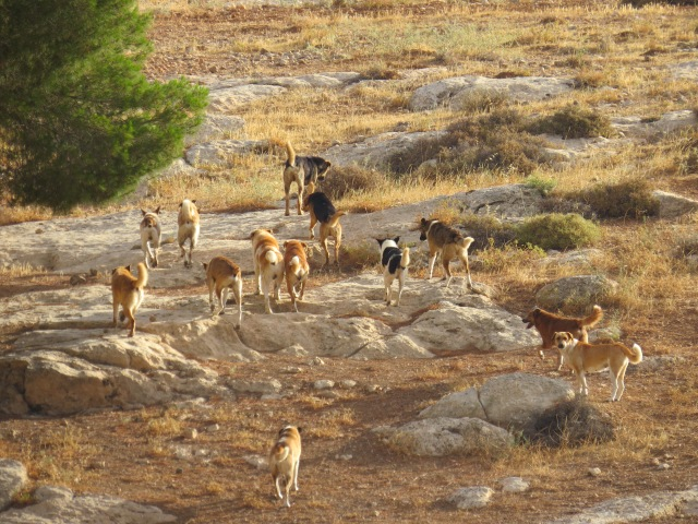Feral_dogs_in_palestine